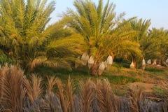 Plantacja daktylowe palmy fotografia royalty free