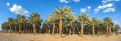 Plantacja daktylowe palmy obrazy royalty free