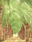 Plantacja daktylowe palmy obraz stock
