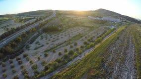 Plantacja drzewa oliwne przygotowywający dla żniwo sezonu, produkcja ropy naftowej w Cypr zbiory wideo
