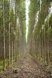 Plantacja eukaliptus Fotografia Stock