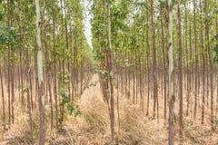 Plantacja eukaliptus dla papierowego przemysłu Obraz Royalty Free