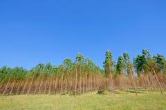 Plantacja Eukaliptusowi drzewa dla papieru lub szalunku przemysłu, Urugwaj, Ameryka Południowa zdjęcia stock