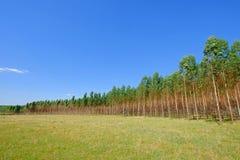 Plantacja Eukaliptusowi drzewa dla papieru lub szalunku przemysłu, Urugwaj, Ameryka Południowa fotografia stock
