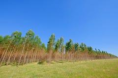 Plantacja Eukaliptusowi drzewa dla papieru lub szalunku przemysłu, Urugwaj, Ameryka Południowa obraz royalty free