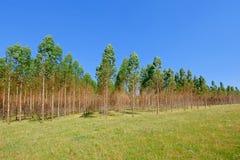 Plantacja Eukaliptusowi drzewa dla papieru lub szalunku przemysłu, Urugwaj, Ameryka Południowa zdjęcie royalty free