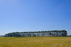 Plantacja Eukaliptusowi drzewa dla papieru lub szalunku przemysłu, Urugwaj, Ameryka Południowa fotografia royalty free