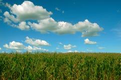 plantacja kukurydzana Fotografia Royalty Free