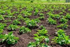 Plantacja młoda grula kiełkuje w polu z czerni ziemią obrazy royalty free