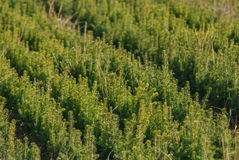 Plantacja młody wiecznozielony drzewo Fotografia Stock