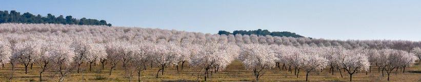 plantacja migdałowych drzew obfitość biali kwiaty w wiosna dniu z niebieskim niebem obraz stock