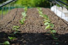 Plantacja ogórek w szklarni Zdjęcie Stock
