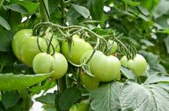 Plantacja pomidory Zdjęcie Stock