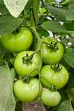 Plantacja pomidory Zdjęcie Royalty Free