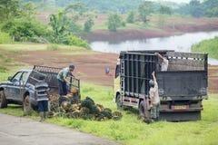 Plantacja pracowników obciążeniowy olej palmowy z ciężarówką Fotografia Royalty Free