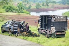 Plantacja pracowników oleju palmowego owoc obciążeniowe wiązki Obraz Royalty Free