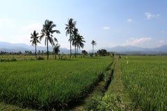 plantacja ryż Zdjęcie Royalty Free
