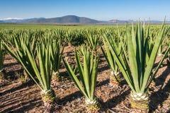 plantacja sizal Zdjęcie Stock