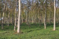 Plantacja topola w Aisne Zdjęcia Stock