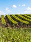 Plantacja winnicy Zdjęcie Stock