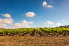 Plantacja winnicy w lecie Fotografia Stock