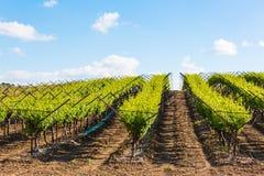 Plantacja winnicy w lecie Zdjęcie Royalty Free