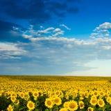 plantacja złociści słoneczniki Obrazy Stock