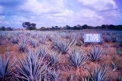 Plantacja z agawy insta fotografią Obrazy Royalty Free
