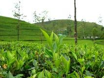 plantacje herbaciane Obraz Royalty Free
