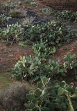 Plantacje kłującej bonkrety kaktus na skalistych skłonach powulkaniczne góry Pionowo wizerunek obrazy royalty free