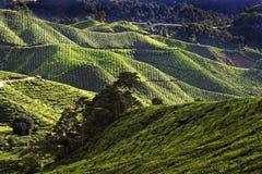 plantacji herbaty. Zdjęcie Royalty Free
