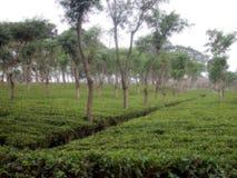 plantacji herbaty. Obrazy Royalty Free
