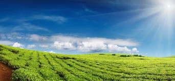 plantacji herbaty. Obraz Royalty Free