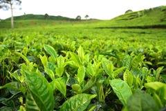 plantacji herbaty. Fotografia Stock