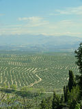 plantacji oliwek w Hiszpanii drzewa Ubeda Obraz Royalty Free