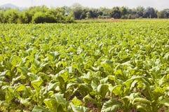 plantacji tytoniu, Zdjęcie Stock