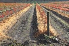 Plantado recentemente e Winterized Fotos de Stock Royalty Free