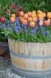 Plantador alaranjado da tulipa foto de stock