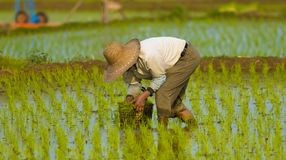 Plantador coreano del arroz - varón Imagen de archivo libre de regalías