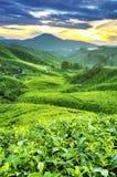 Plantações de chá Imagem de Stock Royalty Free
