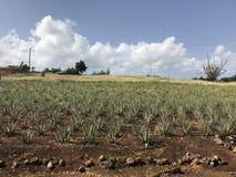 Plantage της Βέρα Aloà « Στοκ φωτογραφία με δικαίωμα ελεύθερης χρήσης