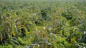 Plantage des Artischockengemüses in der Plantage bereit zum Ernten bei Sonnenuntergang stock footage