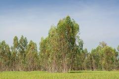 Plantage des Eukalyptusbaums für Papierindustrie Lizenzfreies Stockfoto