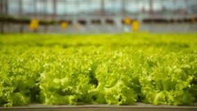 Plantage des grünen Salats stock video