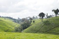 Plantage des grünen Tees auf der Steigung des Berges Lizenzfreie Stockfotografie