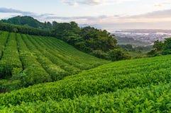 Plantage des grünen Tees auf Sonnenaufgang Lizenzfreies Stockfoto