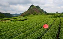 Plantage des grünen Tees mit rosa Regenschirm- und Gebirgshintergrund I Stockbild