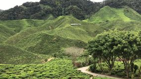 Plantage des gr?nen Tees in Cameron Highland stock video footage