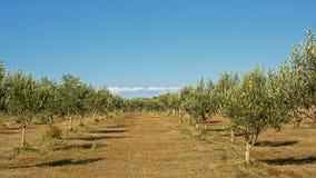 Plantage di olivo in Mali Losinj, Croazia Fotografia Stock Libera da Diritti