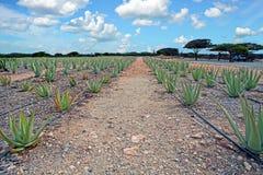 Plantage di vera dell'aloe sull'isola di Aruba Immagine Stock